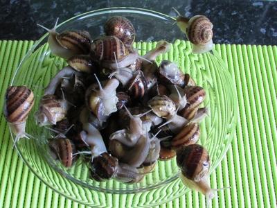 Escargots vifs à jeun