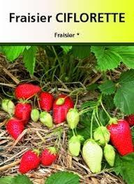 Plants de fraisiers de printemps ; non remontant: : Ciflorette  :catégorie A+>15mm