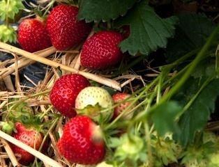 Plants fraisiers non remontant : RUBIS DES JARDINS : Catégorie C < 8 mm