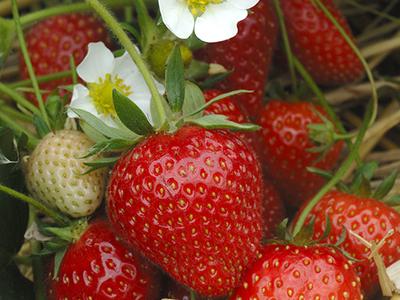 Plant de fraisier remontant