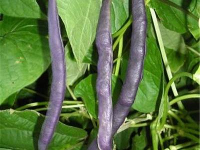 Haricot violet mangetout variété ancienne