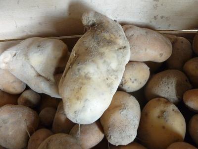 pomme de terre (variété Catarina),  grosse et fondante comme Eden ou la Bintje.