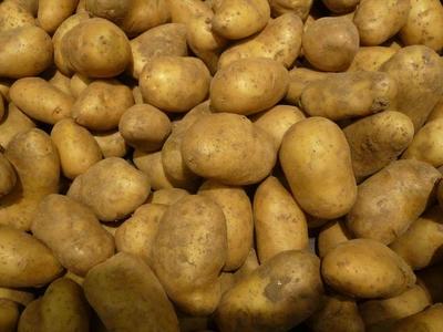 pomme de terre (variété Charlotte),  ferme pour salade