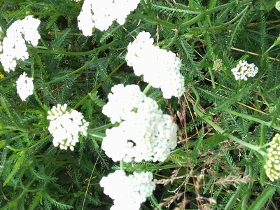 Macérât huileux d'Achillée Millefeuille (achillea millefolium)