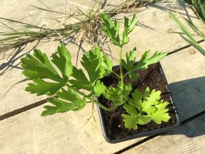 Plant de persil Géant d'Italie