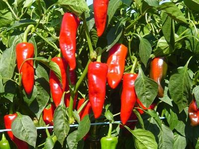Plant de piment Goria ( équivalant à l'Espelette)
