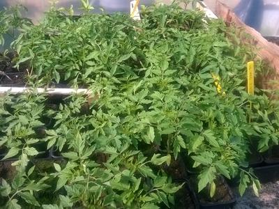 plant de tomate Beefsteack