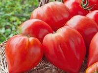 Plant de tomate Coeur de boeuf