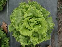 Salade - variété au choix du producteur