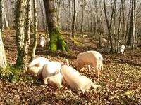 colis porcs LIVRAISON LE 8 JUILLET