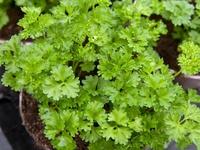 Plant de persil frisé