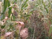 ch'tarbais (haricots blancs écossés type tarbais )