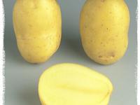 Pomme de terre AGRIA, calibre entre 22 et  50 mm
