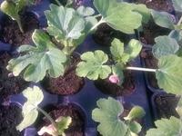 Plant de pastèque pour confiture