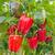 Plant de Poivron Carré Rouge