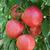 "Plant de Tomate ""Rose de Berne"""