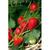 Plants de fraisiers de printemps, non remontant : Charlotte