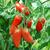 Plant de tomate andine