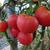 Plant de tomates Rose de Berne