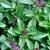 plant de basilic Cannaelle