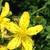 Macérât huileux de Millepertuis (hypericum perforatum)