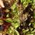 Plants de betteraves (barquette de 12)