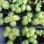 Plant de Basilic grand vert génovèse