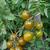 Plant de Tomate Cerise Raisin Vert